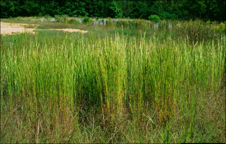 Andropogon virginicus – Broomsedge summer