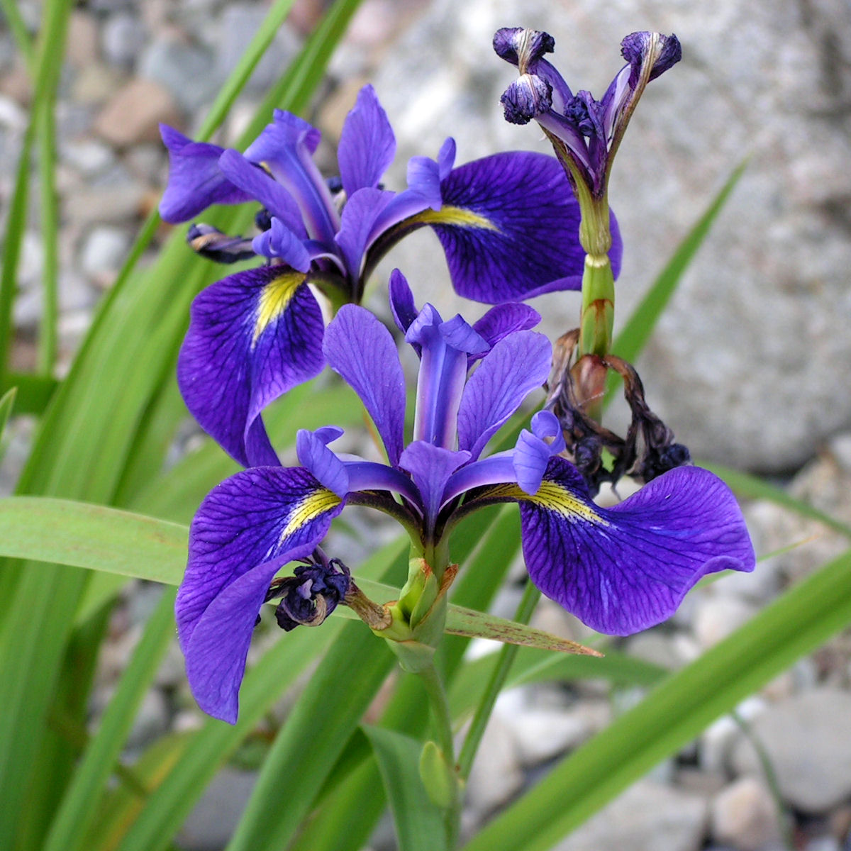 Iris Versicolor Northern Blue Flag Iris Baker Environmental Nursery