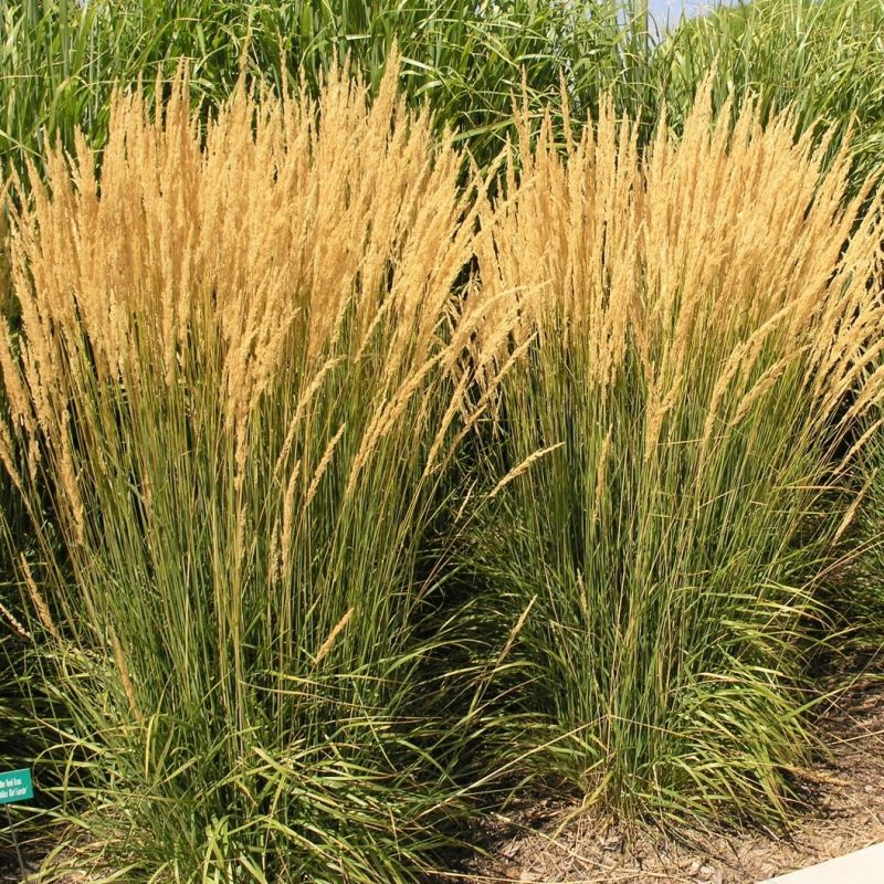 Calamagrostis x acutiflora 39 karl foerster 39 feather reed for Ornamental feather grass