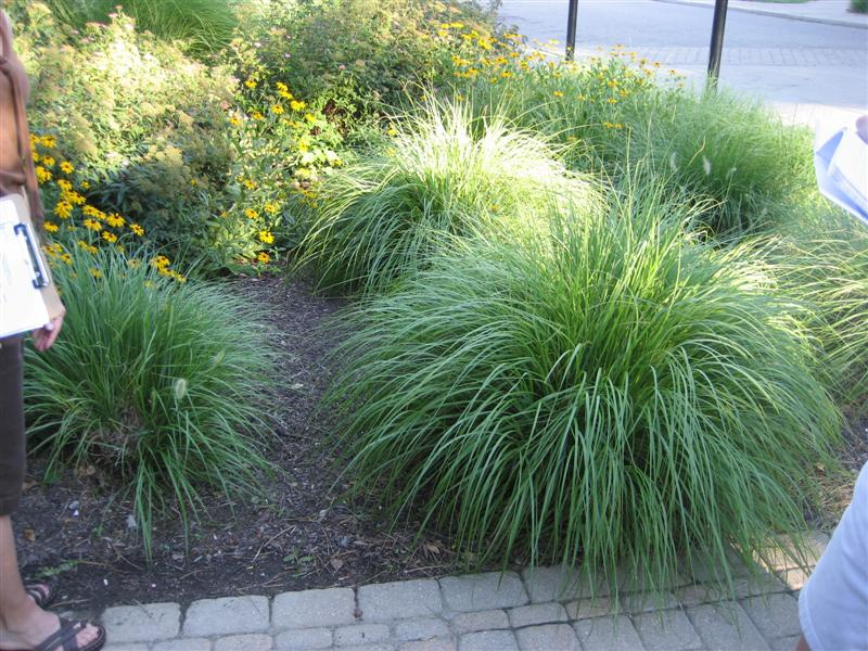 Pennisetum alopecuroides fountain grass baker for Fountain grass