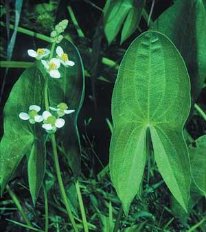 Sagittaria-latifolia-RHW