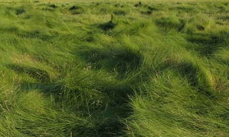Saltmeadow_Cordgrass_page_image