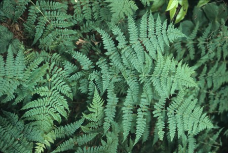 dryopteris-intermedia-ha-jlynch