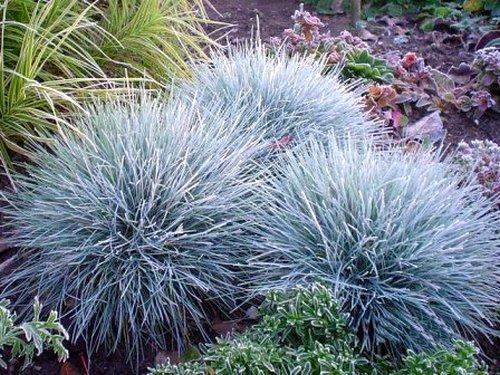 Blue blue fescue home grasses sedges festuca glauca elijah blue blue