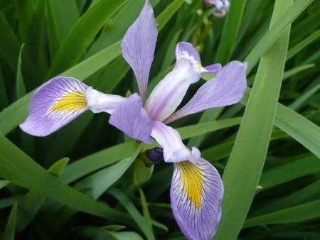iris-virginica-shrevi-southern-blue-flag-flower2