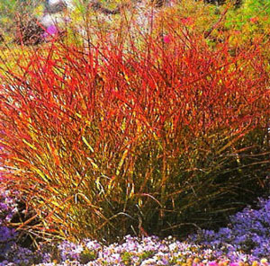 red switchgrass rotstr
