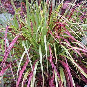 red switchgrass shen
