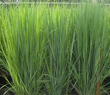 upright switchgrass