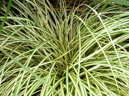 carex-oshimensis-Evergold