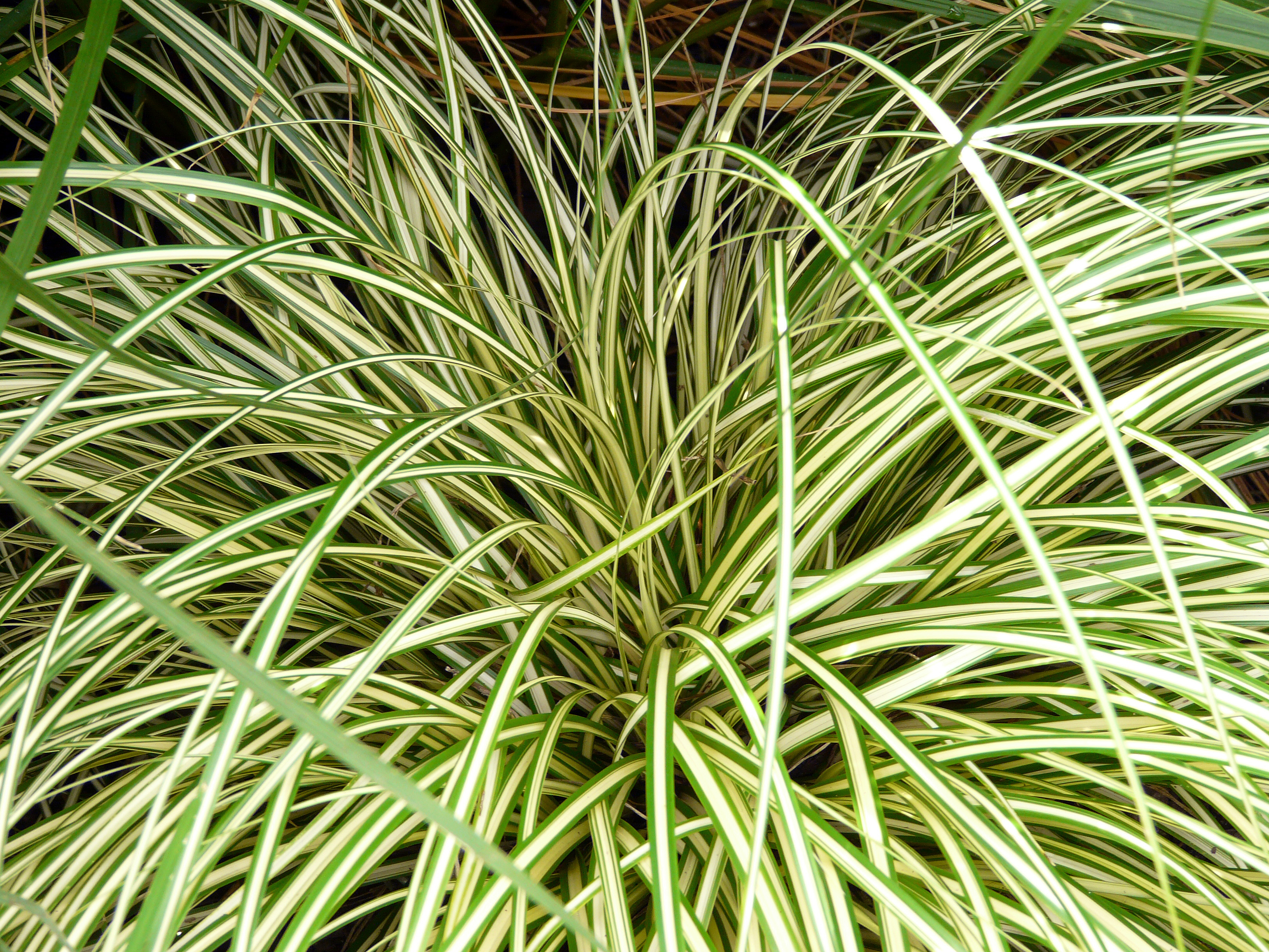 Carex oshimensis 39 evergold 39 evergold sedge baker environmental nursery - Cadre x ...